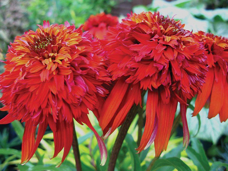 Echinacea Edible Landscape, Permaculture, Landscaping, Urban Farming, Urban Farmer, Community Garden,