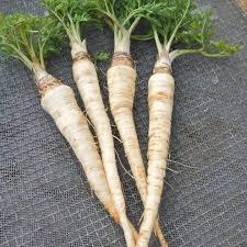 Parsley Root - Edible Landscapes