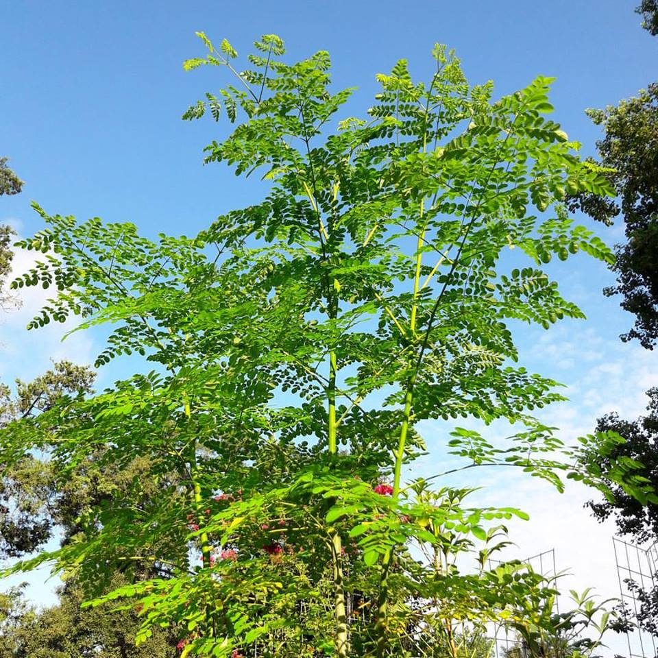 Moringa in the Edible Landscape